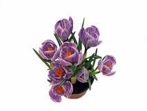 Purpurowi krokusy w flowerpot Obrazy Royalty Free