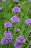 Purpurowi kwiatonośni szczypiorki zdjęcia royalty free