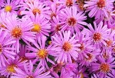 Purpurowi kwiaty Fotografia Royalty Free