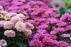 Purpurowi kwiaty Obraz Royalty Free