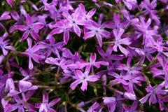 Purpurowi kwiaty Zdjęcia Royalty Free