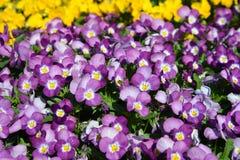 PURPUROWI kwiaty Zdjęcia Stock