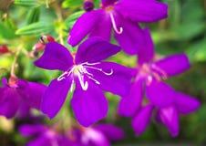 Purpurowi kwiaty Fotografia Stock