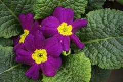 Purpurowi kwiaty zdjęcie royalty free