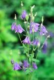 Purpurowi kwiaty, dzwony. Obraz Royalty Free