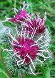 Purpurowi kwiaty kłujący osety w ogródzie w lecie Zdjęcia Stock