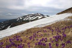 Purpurowi kwiaty krokus wśród więdnącej trawy carpathians Zdjęcia Stock
