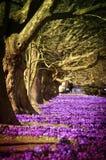 Purpurowi kwiaty krokusy w miasto parku Obraz Stock