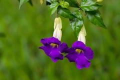 Purpurowi kwiaty krzaka clockvine nazwana królewiątko salopa, także, wiesza od gałęziastego Thunbergia erecta obraz royalty free