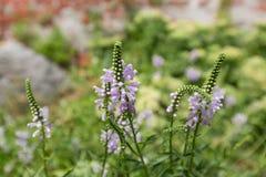 Purpurowi kwiaty Palcowy Fałszywy Dragonhead dorośnięcie w lecie, Europa zdjęcia stock