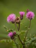 Purpurowi kwiaty Pnący oset Zdjęcia Stock