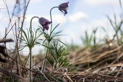 Purpurowi kwiaty pulsatilla pratensis wiosny tło Delikatny i ciepły kwiat zakrywa z małymi włosami Pasque kwiat, wygrana zdjęcia royalty free