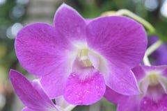 Purpurowi kwiaty republika dominikańska zdjęcie stock