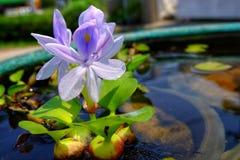 Purpurowi kwiaty wodny hiacynt W zielenieją skąpanie, Eichhornia cr zdjęcie stock