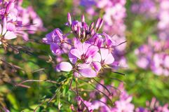 Purpurowi kwiaty zamknięci up w ogródzie Fotografia Royalty Free