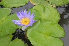 Purpurowi Lotosowego kwiatu i lotosu liście Zdjęcie Royalty Free