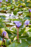 Purpurowi lotosowi kwiaty w stawie Obrazy Royalty Free
