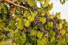 Purpurowi Muscadine winogrona na winogradzie Zdjęcie Royalty Free