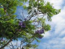 Purpurowi okwitnięcia Jacaranda drzewo San Diego okręg administracyjny z Chmurnym niebieskim niebem w tle zdjęcia stock
