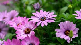 Purpurowi osteospermum ecklonis, Dimorphotheca, Afrykańska stokrotka kwitną kwitnienie w ogródzie obrazy stock