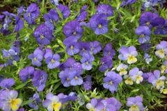 Purpurowi pansies w kwiatu ogródzie Zdjęcie Stock