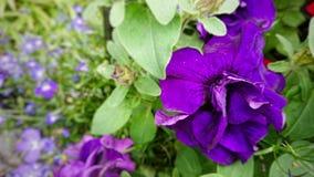 Purpurowi pettle kwiaty fotografia stock