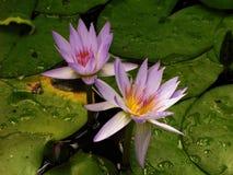 Purpurowi piękno kwiatu pistolety zdjęcie stock