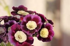 Purpurowi pierwiosnki w ogródzie Obrazy Royalty Free