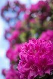 Purpurowi różaneczniki Zdjęcia Royalty Free