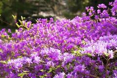 Purpurowi Rododendronowi kwiaty Obrazy Stock