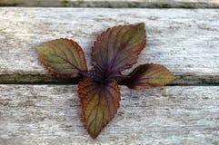 Purpurowi shiso perilla liście obraz royalty free