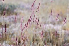 Purpurowi spikelets w polu przy zmierzchem fotografia stock