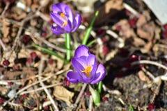 Purpurowi springflowers przy łąką w wiośnie obraz royalty free