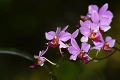Purpurowi storczykowi kwiaty kwitną obraz stock