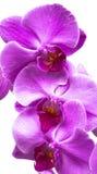 Purpurowi storczykowi kwiaty zamknięci up na bielu Zdjęcie Royalty Free