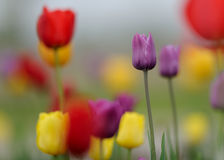 purpurowi tulipany Fotografia Stock