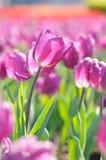 purpurowi tulipany Fotografia Royalty Free