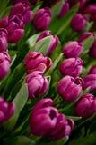 Purpurowi Tulipany Zdjęcie Royalty Free