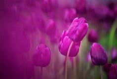 Purpurowi tulipany Zdjęcia Stock