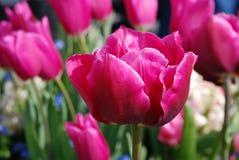 Purpurowi tulipany buczy po deszczu Obrazy Royalty Free
