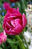 Purpurowi tulipany buczy z rosa kroplami Zdjęcie Stock