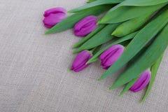 Purpurowi tulipany na brezentowym tle Obraz Stock