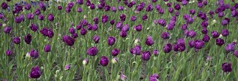 Purpurowi tulipany na ziemi Obrazy Royalty Free