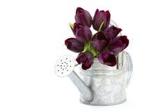 Purpurowi tulipany w polewaczce Obrazy Stock