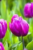 Purpurowi tulipany w wiośnie obraz royalty free