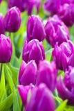 Purpurowi tulipany w wiośnie fotografia stock