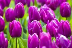 Purpurowi tulipany w wiośnie Zdjęcia Stock