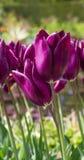 Purpurowi tulipany z wodnymi kroplami Zdjęcie Royalty Free