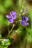 Purpurowi Wildflowers Obrazy Royalty Free