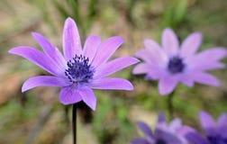 Purpurowi wildflowers kwitnie w kraj łące na wiośnie obraz royalty free